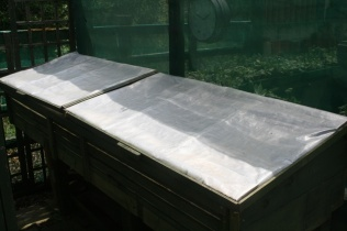A north facing cold frame with an opaque polytunnel material, one of several used to house the auriculas.