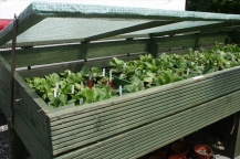 One of several cold frames 2 metres long, the auriculas do very well in these, summer and winter.